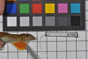 This photo of <em>A. distichus</em> is of hundreds of photos we took to quantify dewlap color and pattern.