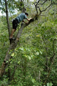 Scantlebury climbs a tree in search of sphaeros along the Recodo Road (Dominican Republic 2008).