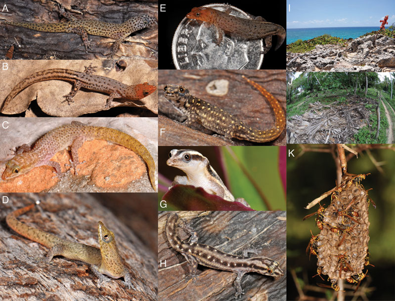 A, Sphaerodactylus difficilis male; B, S. plummeri male; C, S. thompsoni male; D, S. ocoae female; E, S. ariasae adult male - the smallest amniote species; F, S. schuberti juvenile; G, S. cochranae female; H, S. leucaster female; I, La Muñeca de Piticabo - A stuffed animal denotes the trail to the type locality of S. ariasae on the southern most point of Hispaniola.  The absurdity of the scenery is only matched by the absurdity of the quest.; J, Palm trash habitat of S. difficilis and representative of other coastal Sphaerodactylus; K, Wasps nests are commonly encountered while collecting Sphaerodactylus.